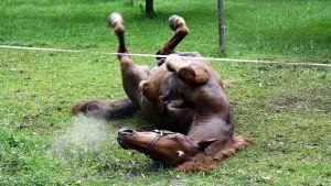 Hevonen kellii Kukkolan pihalla.