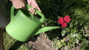 Ruusua kastellaan kannulla