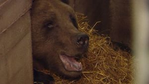 Karhun kuono pilkottaa pesästä eläinpuistossa.