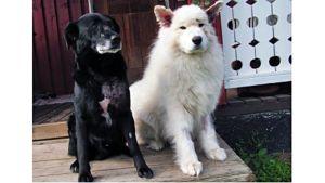 Tiina Pasman koirat Vuti (vas.) ja Sami raatelun jälkeen