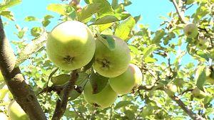 Kuvassa vihreitä omenia puussa
