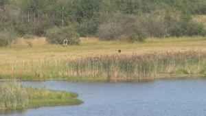 Kirkkosalmen suojelualueen raja kulkee rantapusikon rajassa, josta metsästäjä ohjaa suojelualueella juoksevaa koiraa.