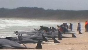 Pelastajat yrittävät saada rannalle ajautuneita valaita takaisin mereen