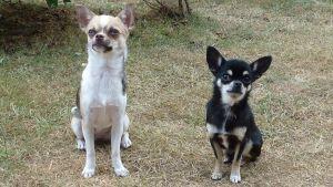 Chihuahuat Sissi ja Remu.