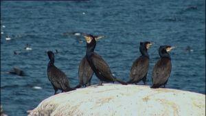 Merimetsoyhdyskunnissa on satoja lintuja.