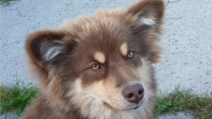 Usva on parkin värinen Suomen lapinkoira.