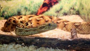 Kiinalainen mokkasiini-käärme terraariossaan.