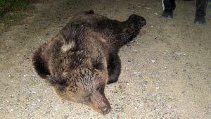 Omenavarkaissa ollut karhu kaadettiin Mikkelin Rantakylässä.