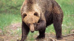 Karhu rapsuttelee silmäänsä metsänreunassa.
