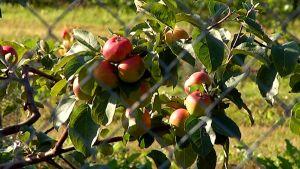 Omenaa puussa.