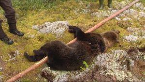 Kaadettu karhu maassa kiinnitettynä riukuun.