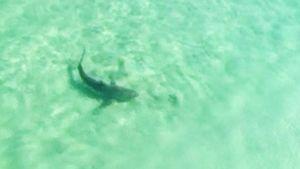 Tiikerihai ui meressä Australian rannikolla.
