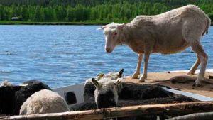Lampaita matkalla saaren kunnostustalkoisiin.