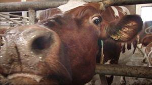 Lehmä nuuhkii kameraa.