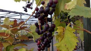 Vanhempi viiniköynnös voi tuottaa runsaankin rypälesadon.