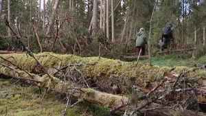 Suojeltavaa metsää Ruokolahdella.
