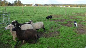 Lammaskoira paimentaa lampaita pellolla.