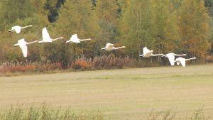 Kuvassa joutsenaura lentämässä pellon yllä matkalla kohti talvisia asuinsijoja.