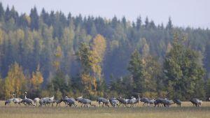 Kurkia ruokailemassa Kouvolan Aitomäen pelloilla.