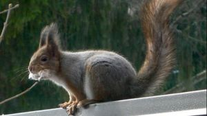 Keväinen orava