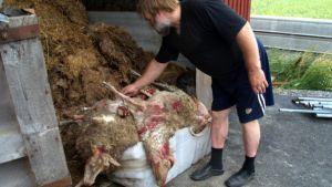 Tapio Rintala keräsi kuolleet lampaat pois laitumelta.