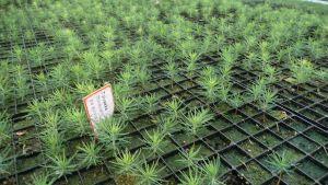 Puuntaimia kasvihuoneessa.