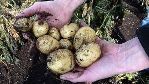 Kourallinen maasta nostettuja perunoita on viljelijän käsissä.