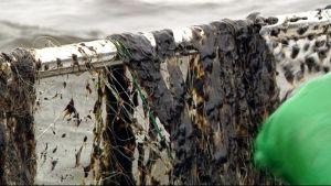 Veneen kaiteella verkkoja, joissa mustaa levää.