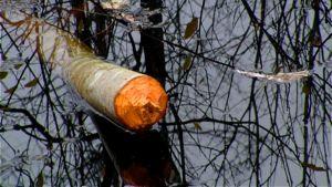 Majavan kaatama puu