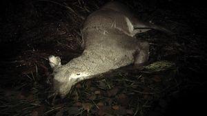 Loimaan seudulla tapahtuu vuosittain satoja peurakolareja.