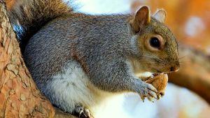 Orava männyssä