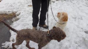 Kaksi koiraa talutushihnassa lumisella soratiellä.