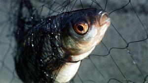 Siika kalaverkossa