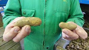 Puikulaperunoita viljelijän kädessä.