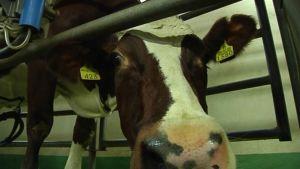 Kuvassa lehmä navetassa.