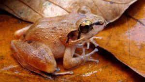 Rusehtavan punainen sammakko isojen lehtien päällä.