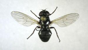 Naruskankeilanen - Cheilosia naruska