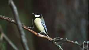 Yksi talvehtivista lintulajeista on talitiainen.