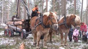 Suomenhevonen ja hevosmetsuri puunkorjuussa