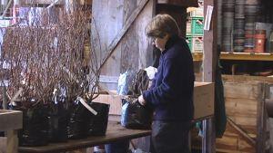 Työntekijä pakkaamassa taimia Bartholtin taimistolla.