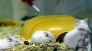 Eläinkokeissa käytettäviä hiiriä terraariossa.