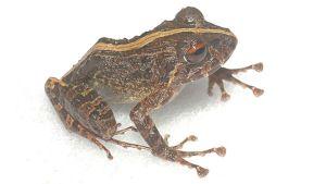 Toinen löytyneistä tuntemattomista sammakoista