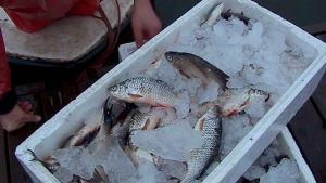 Tuoretta kotimaista kalaa.