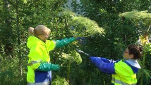 Puutarhurit tuhoavat jättiukonputkea kumihanskat kädessä.