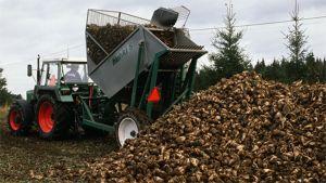 Sokerijuurikkaita kaadetaan kasaan traktorin vetämästä nostokoneesta.