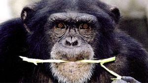 Simpanssi tuijottaa kameraan ruoko suussaan.