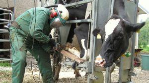 Harri Asikainen hoitaa Upstar-lehmää.