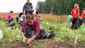 Alexandra Kivinen kaivaa perunoita pellosta.