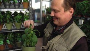Yrittäjä Mika Lassilan stevia-ruukut ovat suosittuja.