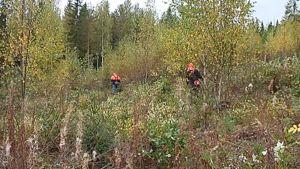Kurssilaisten raivaamaa taimikkoa metsässä.